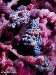 Pygmy seahorse (Hypocampus bargibanti) - Tulamben, Bali (... by Marco Waagmeester 